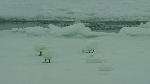 vídeos y material grabado en eventos de stock de group of ivory gulls on ice floe with one eating snow - hurgar en la basura