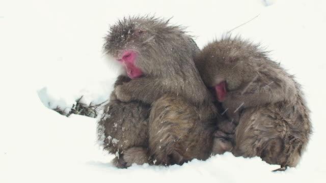 MS Group of Japanese macaques (Macaca fuscata) huddling on snow / Jigokudani, Nagano prefecture, Japan
