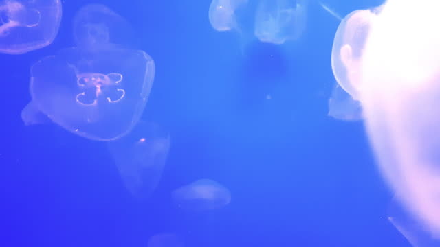 group of jellyfish in the dark of underwater world of sea animal - upside down jellyfish stock videos & royalty-free footage