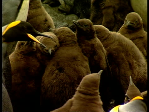 ms group of juvenile king penguins, aptenodytes patagonicus, huddled together, antarctica - 南極点点の映像素材/bロール