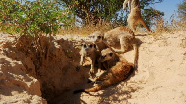 vídeos de stock e filmes b-roll de group of juvenile meerkats sitting together at burrow and falling asleep - cinco animais