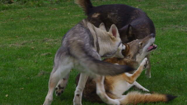 vídeos de stock, filmes e b-roll de slomo group of juvenile tamaskan pups play fight in garden - três animais