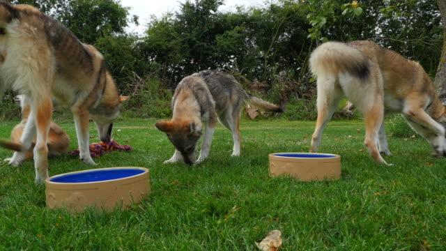 slomo group of juvenile tamaskan pups playing by water bowls - lincolnshire stock videos & royalty-free footage