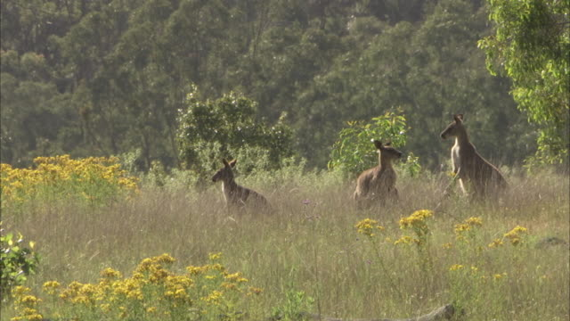 group of kangaroos amongst long grass. - wildflower stock videos & royalty-free footage
