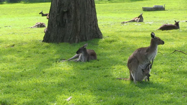 group of kangaroos relaxing - カンガルーの子点の映像素材/bロール