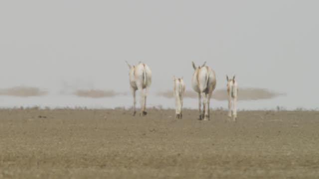 group of khur walk through desert, india. - öde landschaft stock-videos und b-roll-filmmaterial