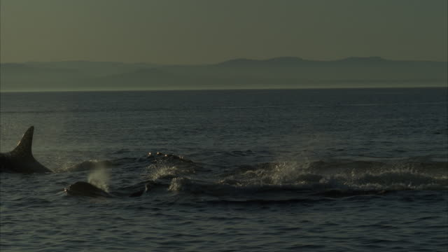 ms, ts group of killer whales swimming, passing boats floating on water - balena video stock e b–roll