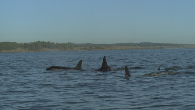 stockvideo's en b-roll-footage met ms, ts, slo mo group of killer whales swimming - rugvin