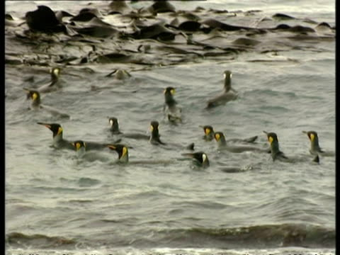 ms group of king penguins, aptenodytes patagonicus, floating amongst seaweed, antarctica - south pole stock videos & royalty-free footage