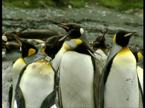 ms group of king penguins, aptenodytes patagonicus, in colony, antarctica - south pole stock videos & royalty-free footage