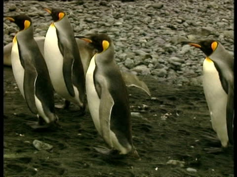 ms group of king penguins, aptenodytes patagonicus, waddling along on soil, antarctica - 南極点点の映像素材/bロール