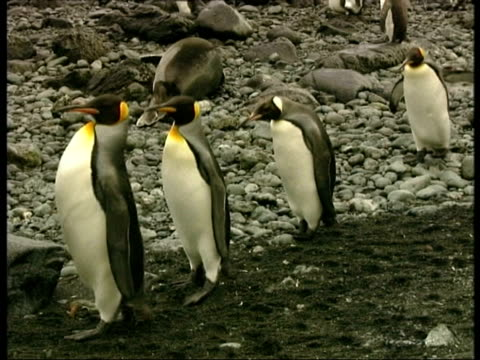 ms group of king penguins, aptenodytes patagonicus, waddling along over rocks, antarctica - south pole stock videos & royalty-free footage