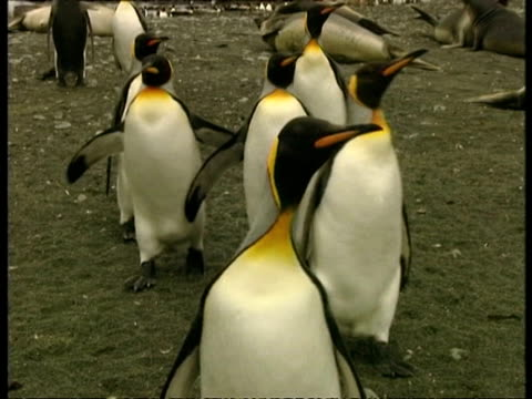 ms group of king penguins, aptenodytes patagonicus, waddling to camera, antarctica - south pole stock videos & royalty-free footage