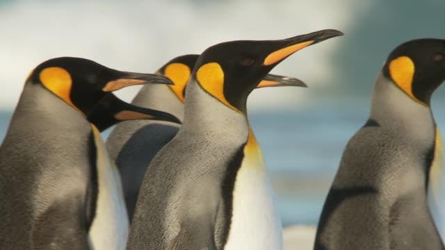 vídeos y material grabado en eventos de stock de ms ts group of king penguins aptenodytes patagonicus walking along beach / volunteer point, falkland islands - grupo mediano de animales