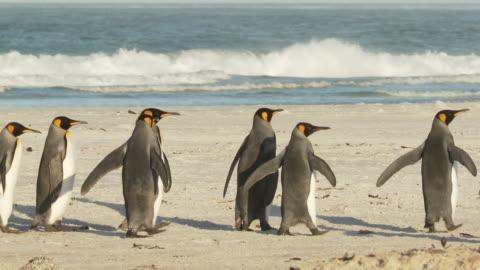 vídeos y material grabado en eventos de stock de ws ts group of king penguins aptenodytes patagonicus walking along beach / volunteer point, falkland islands - grupo mediano de animales