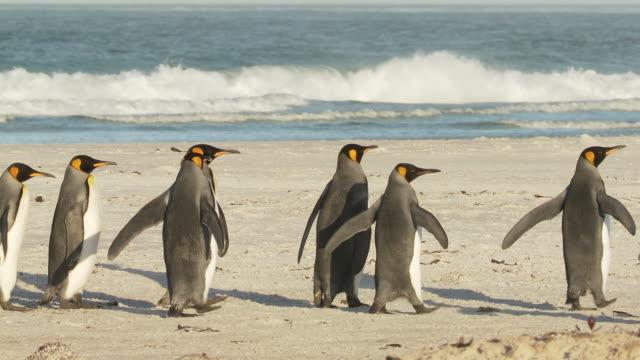 ws ts group of king penguins aptenodytes patagonicus walking along beach / volunteer point, falkland islands - medium group of animals stock videos & royalty-free footage