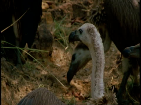 cu group of king vultures, sarcogyps calvus, with carcass, bandhavgarh national park, india - bandhavgarh national park stock videos and b-roll footage
