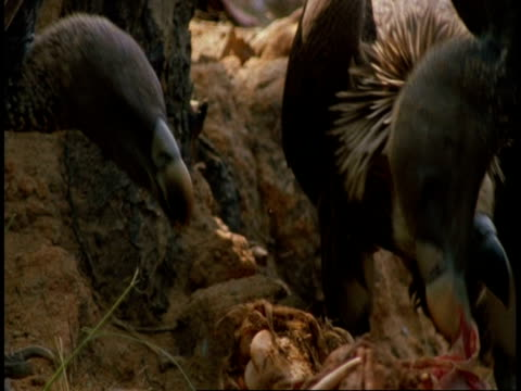 vídeos de stock e filmes b-roll de cu group of king vultures, sarcogyps calvus, with carcass, bandhavgarh national park, india - grupo pequeno de animais