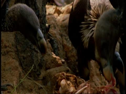 stockvideo's en b-roll-footage met cu group of king vultures, sarcogyps calvus, with carcass, bandhavgarh national park, india - vier dieren