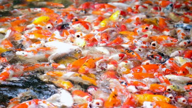 group of koi fish - koi carp stock videos & royalty-free footage