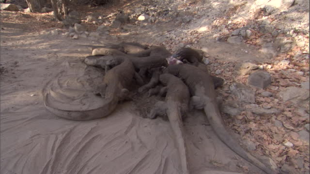 group of komodo dragons feed on buffalo carcass. available in hd. - bbc stock videos and b-roll footage