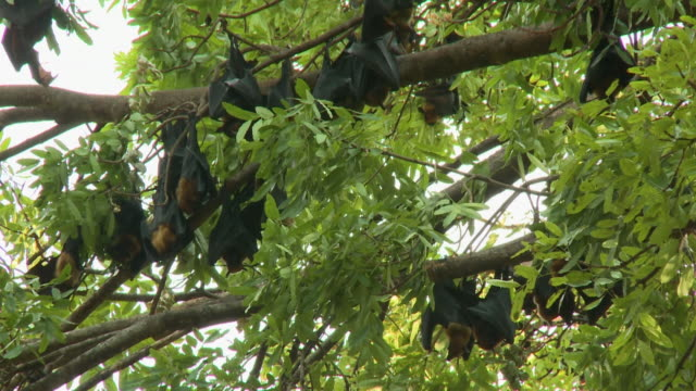 a group of large fruit bats hanging on leafy trees - medium group of animals点の映像素材/bロール