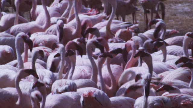 CU group of Lesser flamingoes drinking
