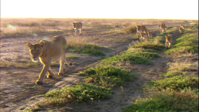 Group of Lioness and Cubs walking