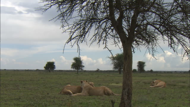 stockvideo's en b-roll-footage met a group of lioness sitting down on the grass at serengeti national park, tanzania - dierlijk gedrag