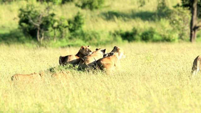 vídeos y material grabado en eventos de stock de grupo de leona con los bebés bajo la luz del sol - animales cazando