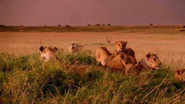 stockvideo's en b-roll-footage met ms group of lions laying down on grassy mound at grassland / masai mara, kenya - middelgrote groep dieren