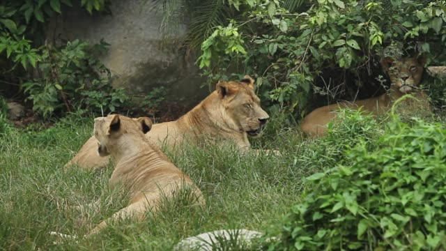 Group of lions living