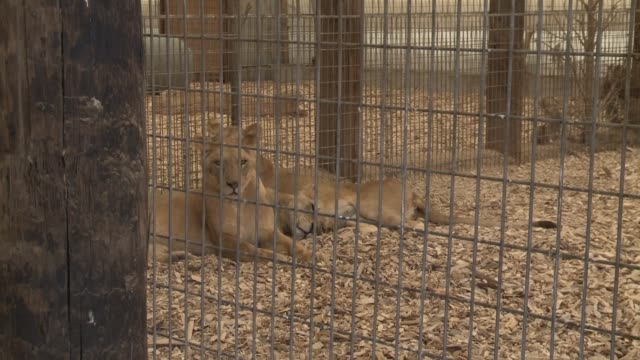 A group of lions rescued by animal protection groups in Mexico have been transported to Colorado where they will be given a permanent home at a...