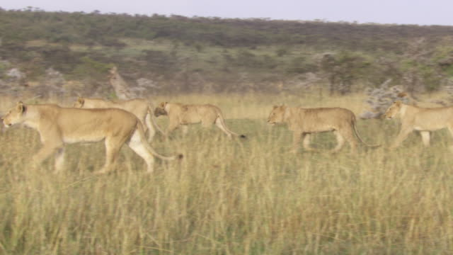 ms group of lions walking / tanzania - kleine gruppe von tieren stock-videos und b-roll-filmmaterial