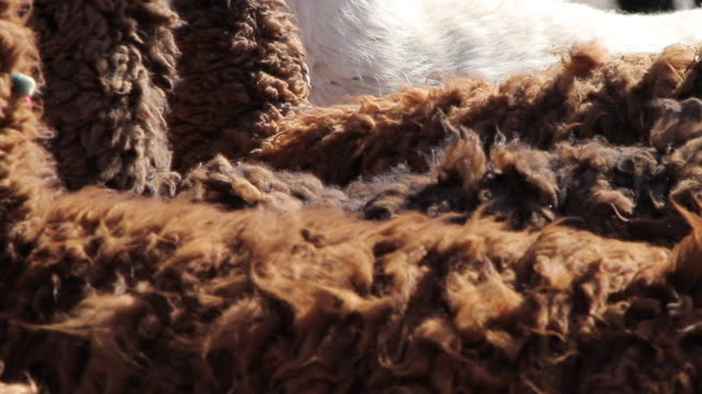 cu group of llamas standing one next to another and fur blowing in wind  - animal hair stock videos & royalty-free footage