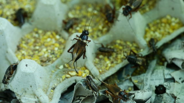 group of locusts as edible insects - 交代点の映像素材/bロール