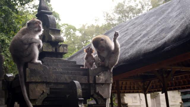 ZI Group Of Macaque Monkeys