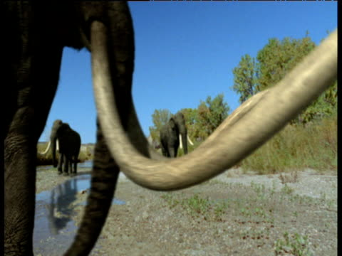 group of mammoths walk by river, usa - animal nose stock videos & royalty-free footage