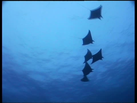wa group of manta ray swimming above camera, divers in background, layang layang, borneo, malaysia - 優美点の映像素材/bロール