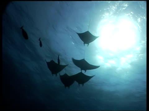 vídeos de stock e filmes b-roll de wa group of manta ray swimming over camera, pan left to hammerhead shark swimming past camera, layang layang, borneo, malaysia - guelra