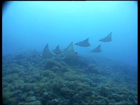 vídeos de stock e filmes b-roll de wa group of manta rays swimming over coral, layang layang, borneo, malaysia - guelra