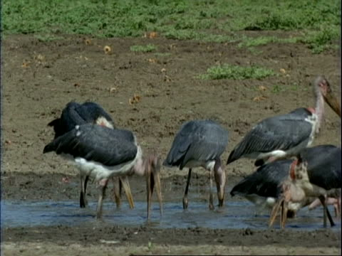 vídeos de stock, filmes e b-roll de ms group of marabou storks searching for food in muddy water, mana pools, zimbabwe - boca animal