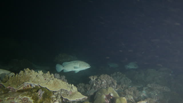 Group of Marbled grouper fish, coral reef, at dark night