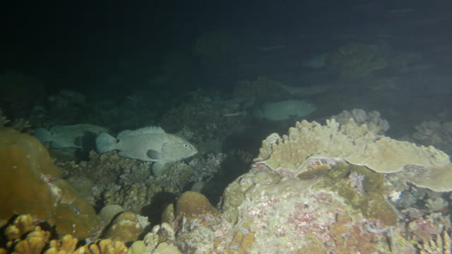 Group of Marbled grouper fish in night coral reef