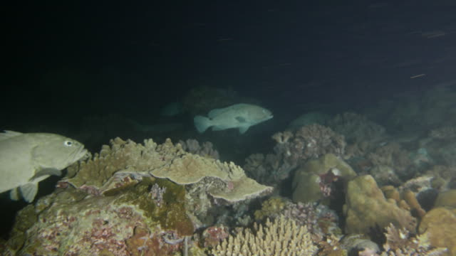 Group of Marbled grouper fish in night reef for mating