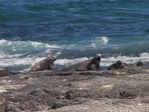 group of marine iguanas at the sea shore - galapagosinseln stock-videos und b-roll-filmmaterial