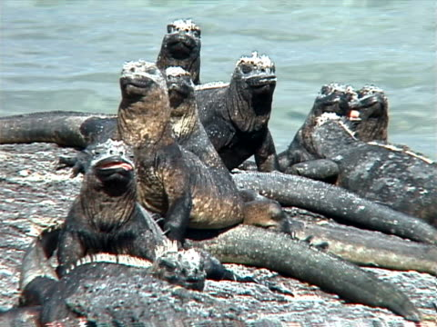 Group of marine iguanas basking