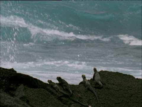 vídeos y material grabado en eventos de stock de group of marine iguanas sit on rocks with splashing surf behind, galapagos islands - iguana