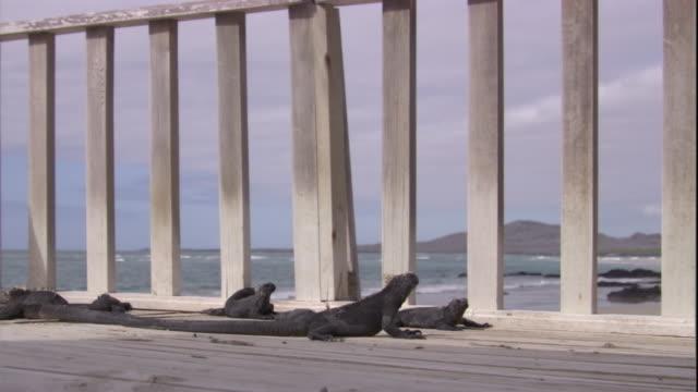A group of marine iguanas sunbathe near a deck railing. Available in HD.