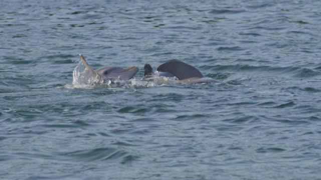 vidéos et rushes de slomo cu group of mating bottlenosed dolphins on surface - cétacé